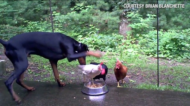 orig distraction doberman versus chickens_00004817.jpg