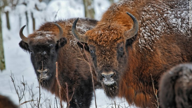 "Poland's wild European bison are all descended from 54 captive animals that survived ""extinction."""