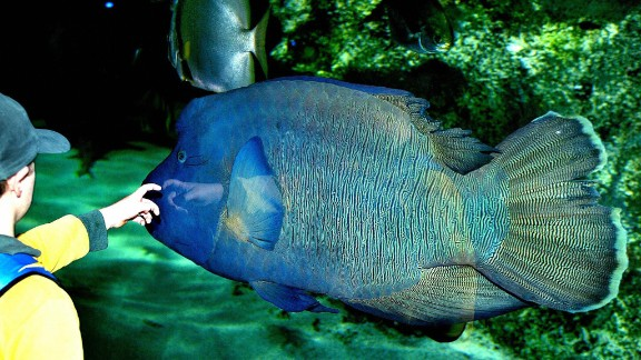 A schoolboy reaches out to touch a humpheaded Maori wrasse as it swims in the world