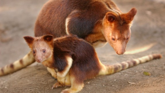 A baby Buergers tree kangaroo appears out of her mother