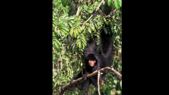 Black spider-monkeys — also known as the Guiana or red-faced spider monkey — are one of the main monkey species encountered in healthy tropical rainforests. It