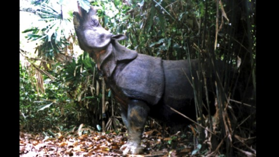 A Javan rhino walks in the national park in the Ujung Kulon National Park in Indonesia. It is one of  the most threatened of the five rhino species, with as few as 35 individuals surviving. Their skin has a number of loose folds, giving the appearance of armor plating. The discovery of three dead Javan rhinos in 2010 has intensified efforts to save one of the world