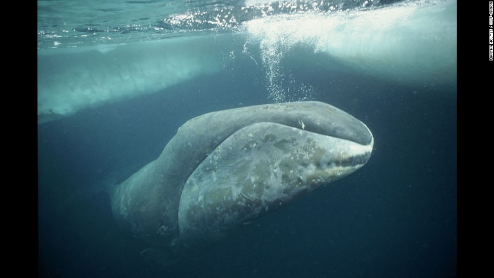 A bowhead whale swims under ice in the Arctic. Adult bowheads are entirely black except for the front part of the lower jaw, which is white and prominently upturned. They can grow up to 60 feet long while still being able to leap entirely out of water. Data show they may be among the longest-living animals on Earth. Based on the recovery of stone harpoon tips in their blubber, and from analysis of eye tissue, scientists believe that the life-span of bowhead whales can be more than 100 years.