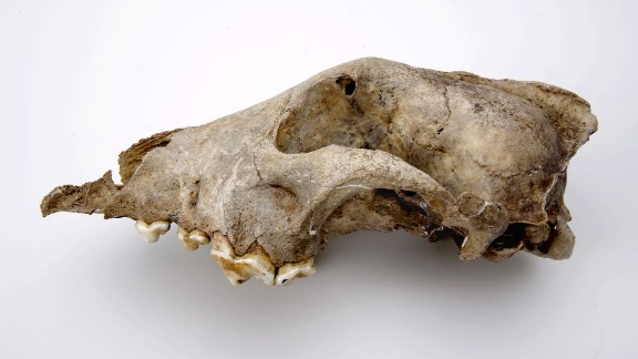 The head of a Palaeolithic dog from the Goyet cave in Belgium, thought to be 36,000 years old. Researchers believe the species that this fossil represents was an ancient sister-group to all modern dogs and wolves. They believe the species was less likely to be a direct ancestor.