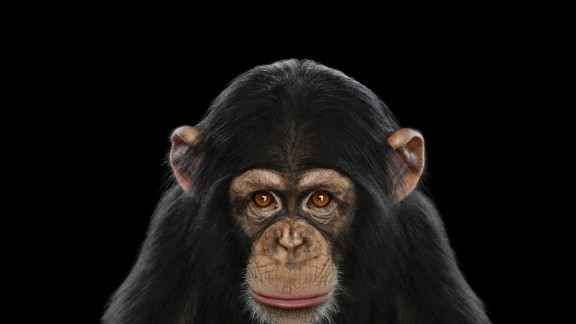 Chimps don't have the same rights as people, New York courts said.