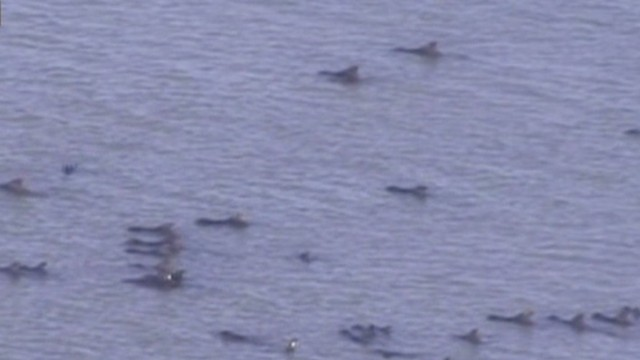 Pod of whales stranded in the Everglades