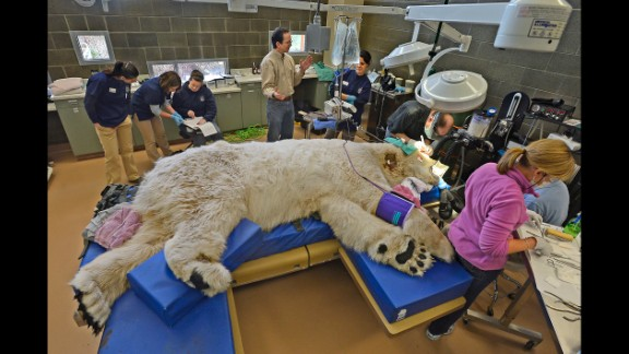 February 23: A sleeping giant, Boris the polar bear, undergoes a physical exam at the animal hospital of Point Defiance Zoo & Aquarium in Tacoma, Washington. A team of veterinarians, technicians and staff also performed a root canal and some minor eye surgery on the 27-year-old bear.