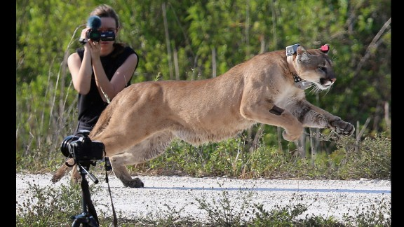 April 3: A 2-year-old Florida panther is released into the wild by the Florida Fish and Wildlife Conservation Commission in West Palm Beach, Florida. The panther and its sister had been raised at the center since they were 5 months old. They were rescued after their mother was found dead.
