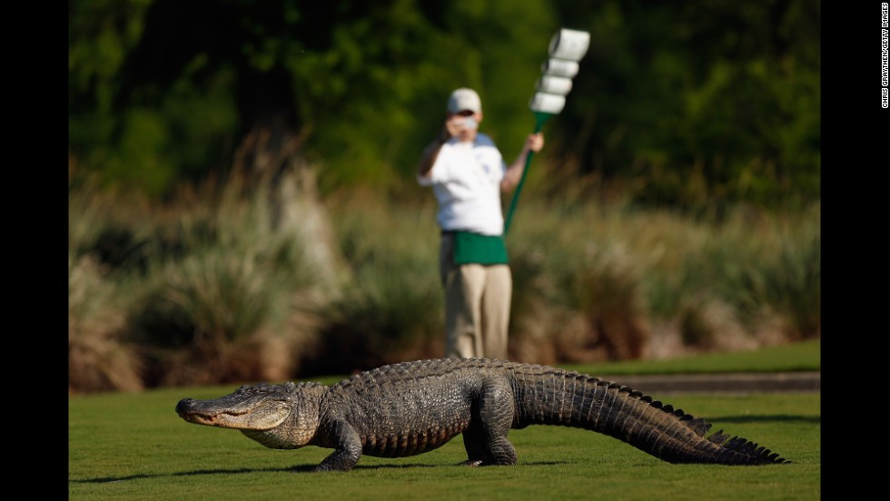 A giant alligator sits on the 14th fairway during the first round of the Zurich Classic on April 25 in Avondale, Louisiana.