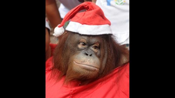 An orangutan named Pacquiao wears a Santa costume at the Malabon Zoo in Malabon City, Philippines, on December 15.