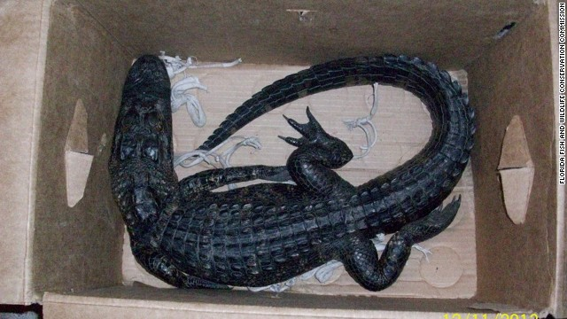 A Florida man attempted to trade this 4-foot alligator for a 12-pack of beer