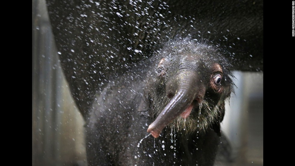 <strong>December 18: </strong>A baby elephant keeps cool with a shower at the Melbourne Zoo in Australia.