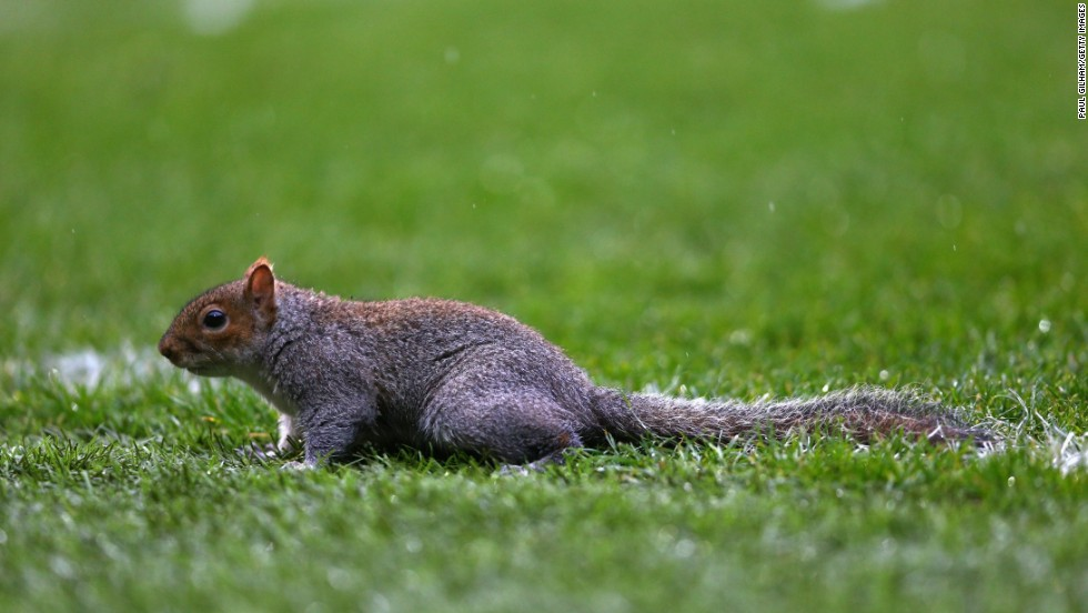 There are an estimated two million grey squirrels in the United Kingdon, but just one was at Loftus Road for QPR's matcg against Leicester City on Saturday.