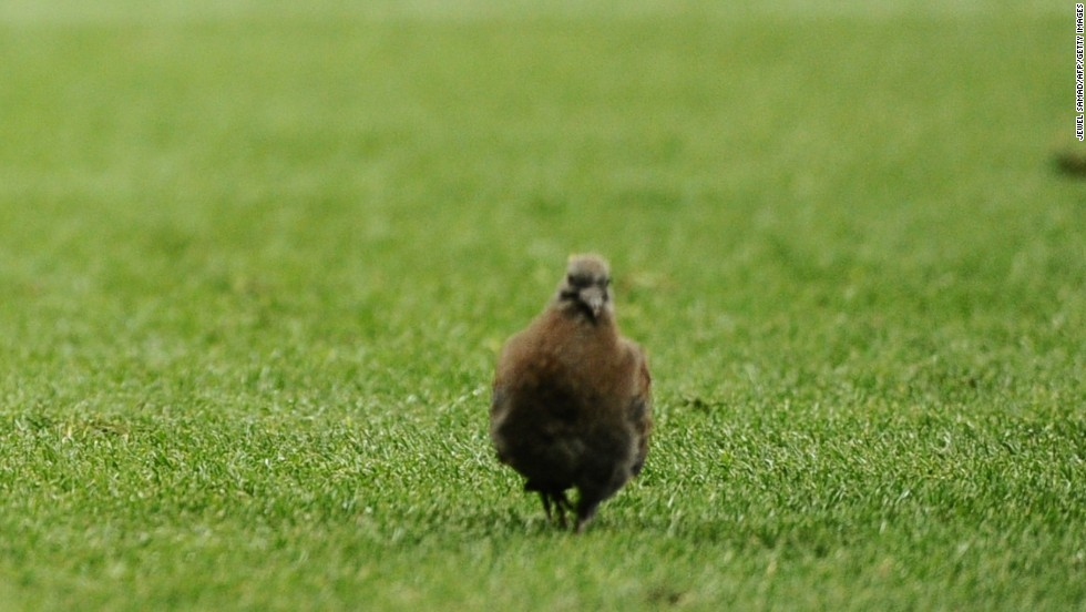 This bird had a close view of the 0-0 draw between England and Algeria in the 2010 World Cup.