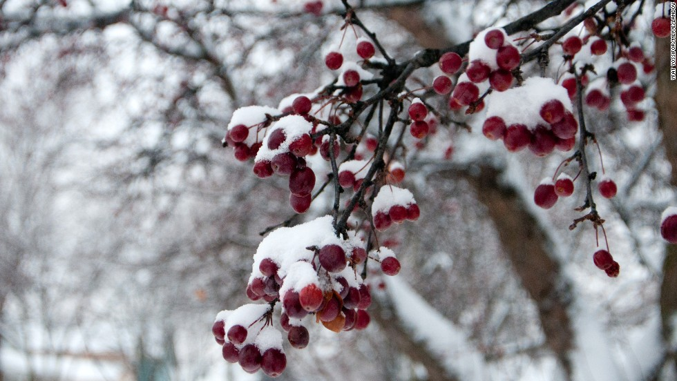 Snow accumulates on trees in Bay City, Michigan, on December 26.