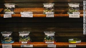 Colorado marijuana's potency getting 'higher'