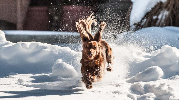 CNN iReporter Todd Joyce took this photo of his dog, Ginger, playing in the snow in Ohio on January 5.