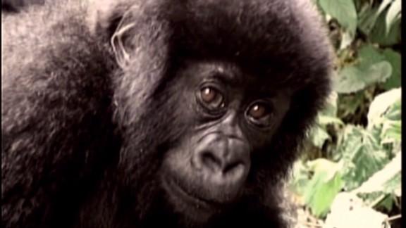 spc inside africa western lowland gorillas b_00003723.jpg