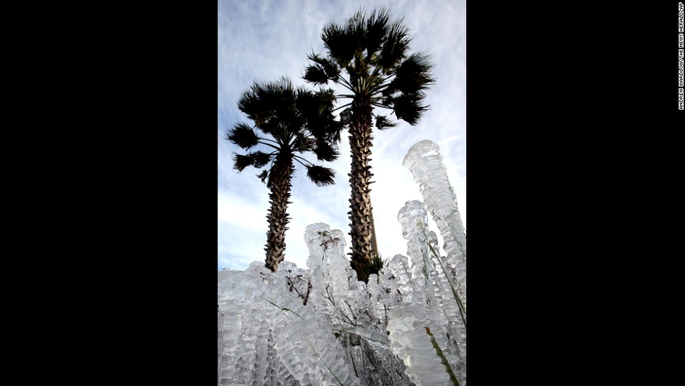 Plants covered in ice are seen in Panama City Beach, Florida, on January 7.