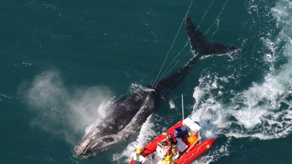 Marine mammals around the world are endangered because of poor fisheries practices by foreign commercial fishing fleets. North Atlantic right whales are one of the species that are threatened.