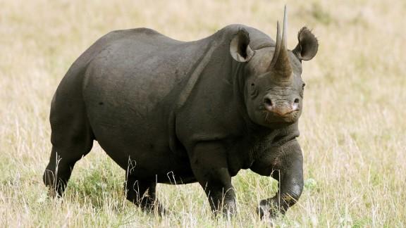 A female black rhinosaurus stands on December 10, 2007 in the Masai Mara Game Reserve, Kenya.
