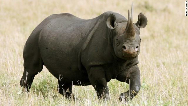 Threatened for hunting endangered rhino