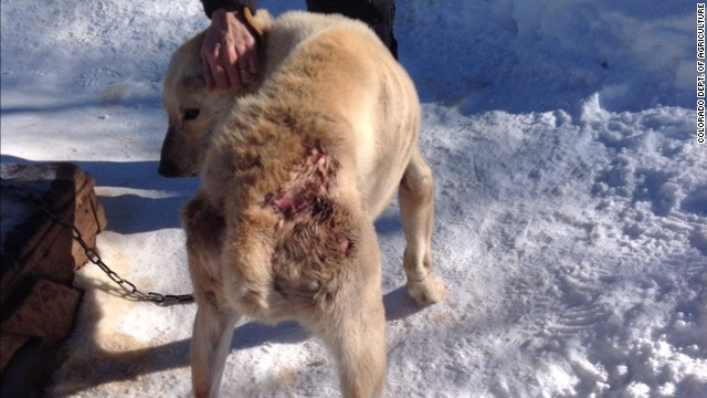 Dan MacEachen, the owner of a dog sledding operation in Snowmass Village, Colorado, faces eight counts of animal cruelty.