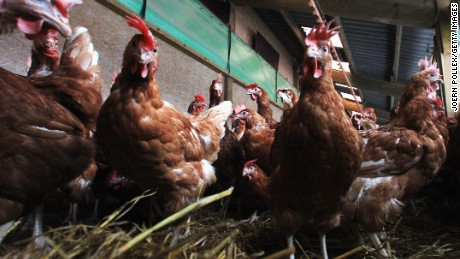 Getting too friendly with fowl blamed in salmonella outbreaks