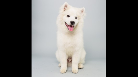Name: Brody.  Age: 15 weeks.  Breed: American Eskimo.