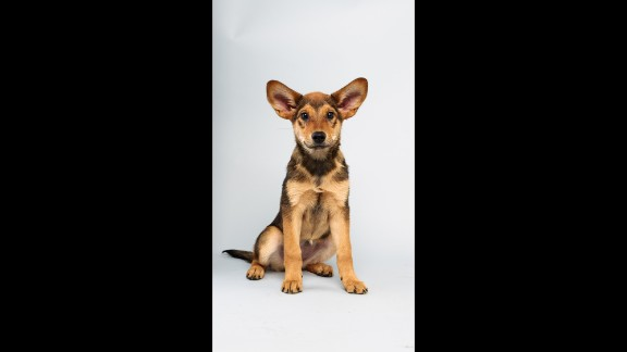 Name: Cici.  Age: 13 weeks.  Breed: German shepherd mix.