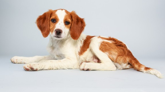 Name: Laney.  Age: 13 weeks.  Breed: Brittany spaniel mix.