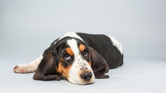 Name: Lily.  Age: 13 weeks.  Breed: Basset hound.