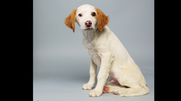 Name: Loren.  Age: 14 weeks.  Breed: Brittany spaniel mix.