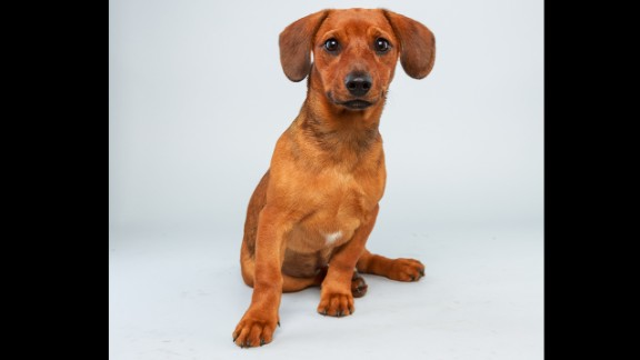Name: Mandy.  Age: 17 weeks.  Breed: Dachshund hound mix.