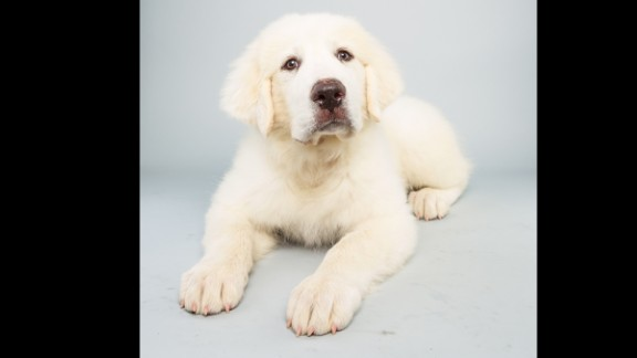 Name: Shyla. Age: 14 weeks. Breed: Great Pyrenees.