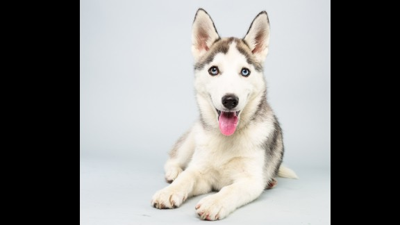 Name: Suri.  Age: 14 weeks.  Breed: Siberian husky.