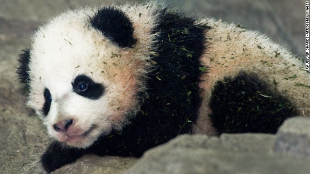 Bao Bao, the Giant Panda cub is seen by the media for the first time January 6, 2014 inside his glass enclosure at the National Zoo in Washington, DC, a few days before going on display to the general public. Bao Bao was born at the Smithsonian's National Zoo August 2, 2013. AFP Photo/Paul J. Richards (Photo credit should read PAUL J. RICHARDS/AFP/Getty Images)
