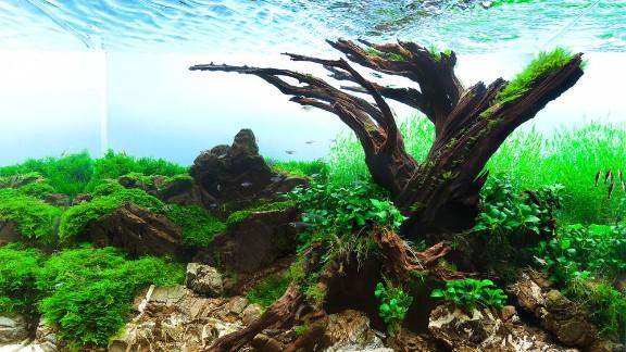 The title says it all. Polish aquascaper Pawel Iglewski designed this tank around an old tree, using plants like flame moss, Java moss and Riccardia chamedryfolia.