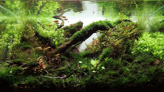 Aquascaping in Hungary has experienced a boom in popularity and design, as seen in this Hungarian tank. The growth of the hobby stems partly from the arrival of stores like Green Aqua that give locals access to new materials and plants, which were previously unavailable.