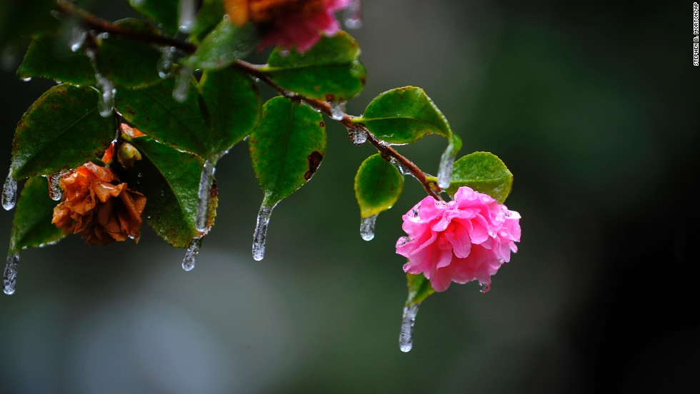 Icicles hang off a camellia bush in Savannah, Georgia's historic Forsyth Park after freezing rain hit the area on January 29.