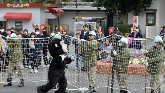 """Visitors gaped as scores of helmet-wearing keepers surrounded the """"gorilla"""" with cars and nets."""