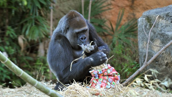 This real gorilla from the Ueno Zoo finds nothing to get so excited about.