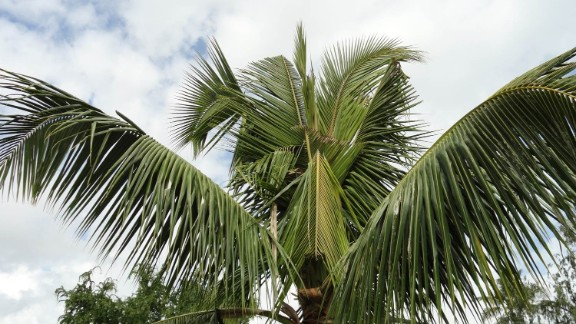 According to Hawaii's Department of Agriculture site the damage palm trees by boring into the crown of the tree to feed on the sap. They cut through developing leaves, causing damage to the fronds. V-shaped cuts in the fronds and holes through the midrib are visible as leaves mature and unfold.