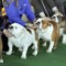 01 Westminster Kennel Club Dog Show 0210