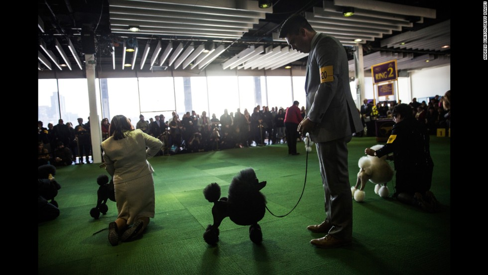Miniature poodles compete in the event on February 10.