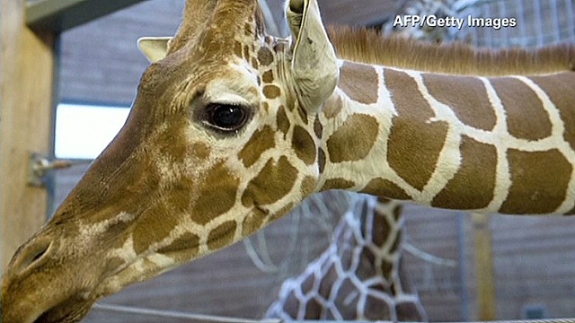 Jack Hanna outraged by giraffe slaughter