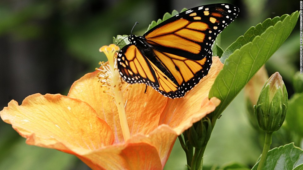 A monarch butterfly lands on a hibiscus flower in Virginia.