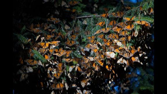 Monarch Butterfly Biosphere Reserve in El Rosario in Mexico.