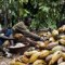 Cocoa farm workers Ivory Coast cocoa pods