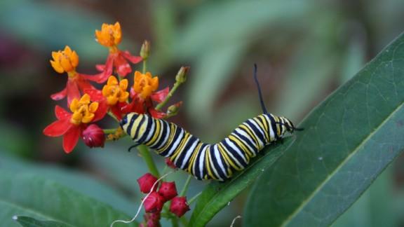 Monarch butterfly larva.